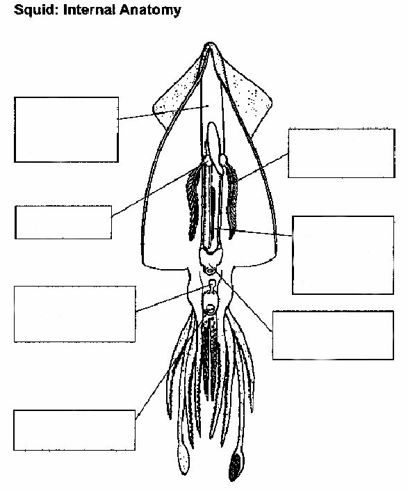 squid anatomy internal unlabelled :: manandmollusc.net