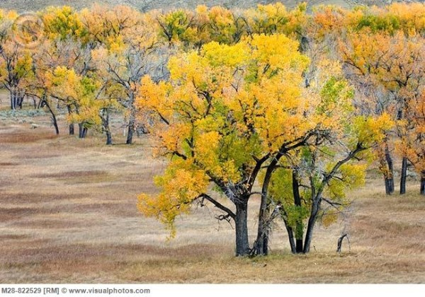 Plains Cottonwood trees Wyoming39s State Tree Places to