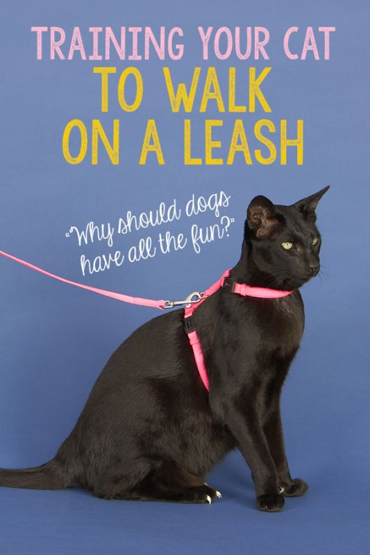 Leash walking for cats is gaining more and more popularity these days, and that's because it's a safe alte