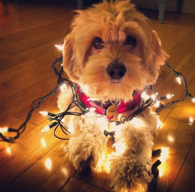 191 Best Dogs Wrapped In Christmas Lights Images On Pinterest