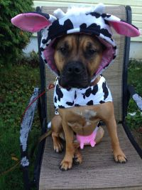 Fiona in her Halloween costume. (She loves being a cow ...