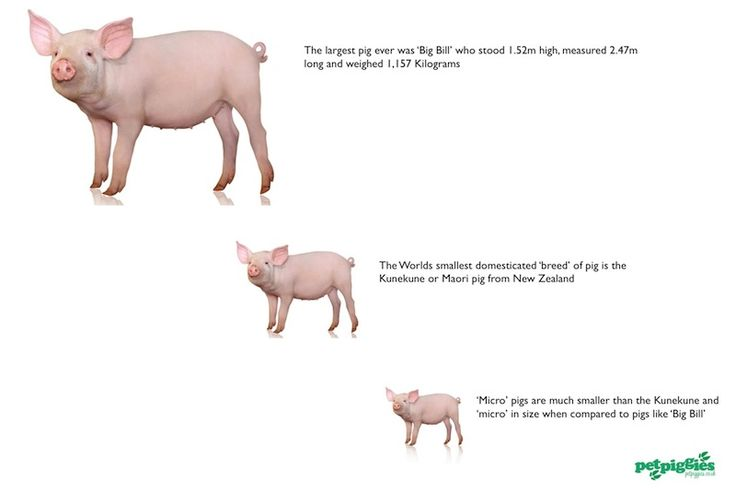 How Fully Micro Big Do Pigs Grown When Get