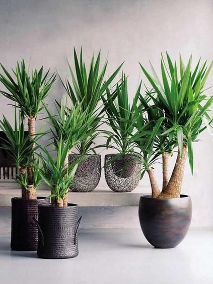 25 Best Ideas About Yucca Tree On Pinterest Yard Waste Removal