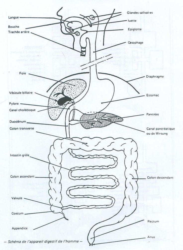 Schéma de l'appareil digestif chez l'homme