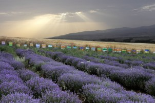 Greek lavenderfield and beehives