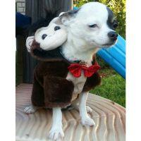 Chihuahua monkey halloween costume. Dog costumes ...