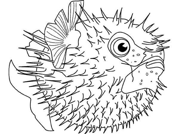 Puffer Fish, : Sea Squab Puffer Fish Coloring Page
