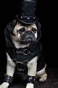 1000+ images about Pugs in Costumes on Pinterest | Dress ...