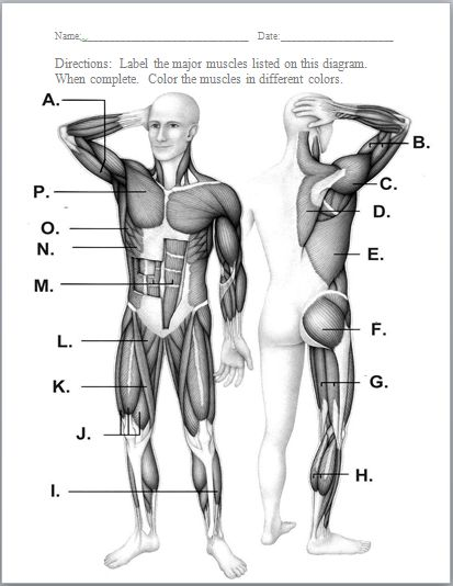 Best 25+ Muscular system ideas on Pinterest