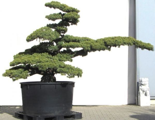 25 Best Ideas About Kiefer Bonsai On Pinterest Bonsai Mini