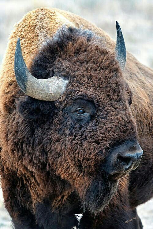25 best ideas about Bison tattoo on Pinterest Buffalo