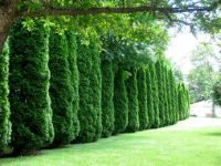 Thuja occidentalis, Privacy hedge and Tall shrubs on Pinterest