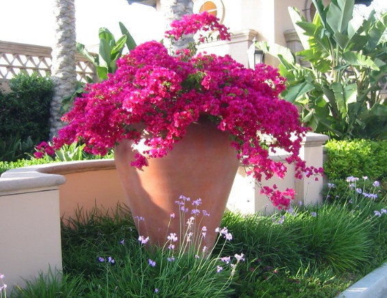 bougainvillea urn 2 containers