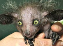 Top 10 Aye-Aye Facts ! - 10. Aye-ayes were once thought to ...