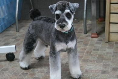 Japanese Style Schnauzer Grooming Dogs Pinterest