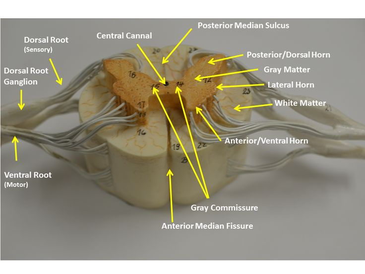 brain cross section diagram dual immersion heater wiring spinal nerve model - google search | anatomy pinterest models, and