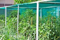 PVC and shade cloth to keep tomatoes going in the heat ...
