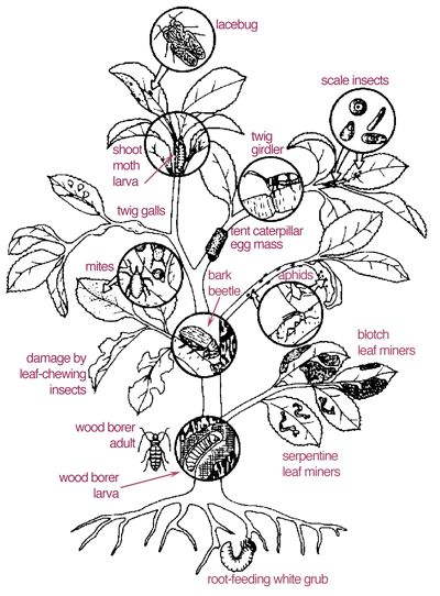 Here is a good diagram of insects that directly harm the
