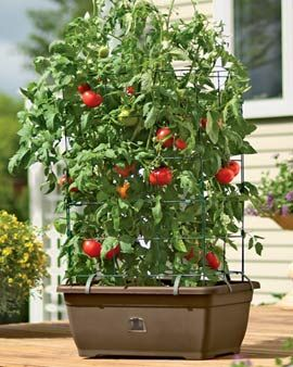 51 Best Images About Container Tomatoes On Pinterest Gardens