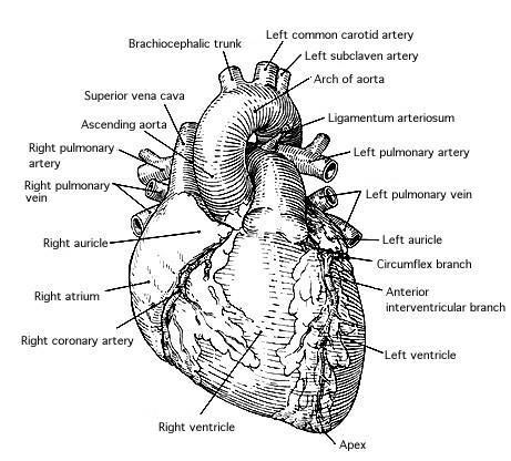 80 best images about ~Human Anatomy on Pinterest