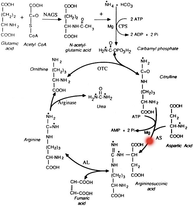 25+ best ideas about Urea cycle on Pinterest