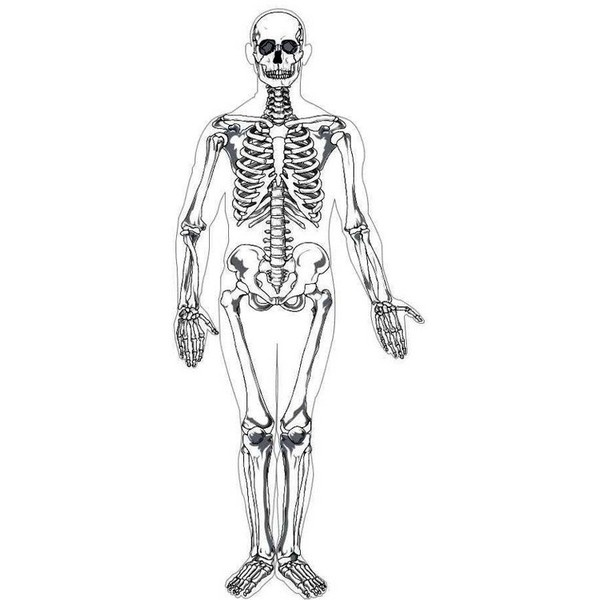 Human skeleton printable (realistic, anatomy, not cartoon