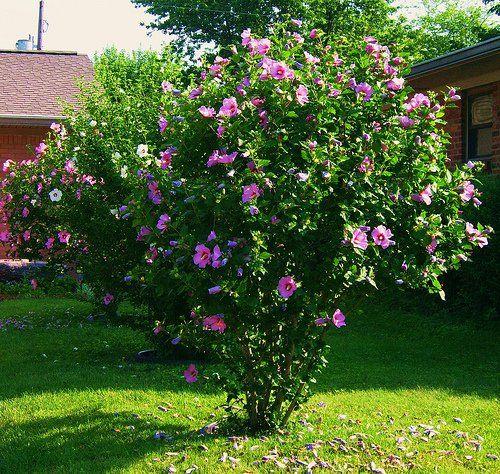 25 Best Ideas About Garden Shrubs On Pinterest Shrubs Bushes