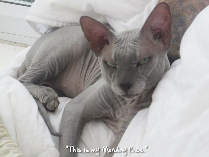 667 Best Images About CHINESE CRESTED AND SPHYNX On