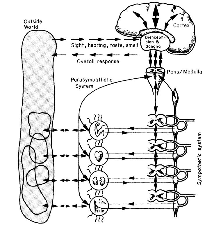 The human body's autonomic nervous system: Stafford Beer's