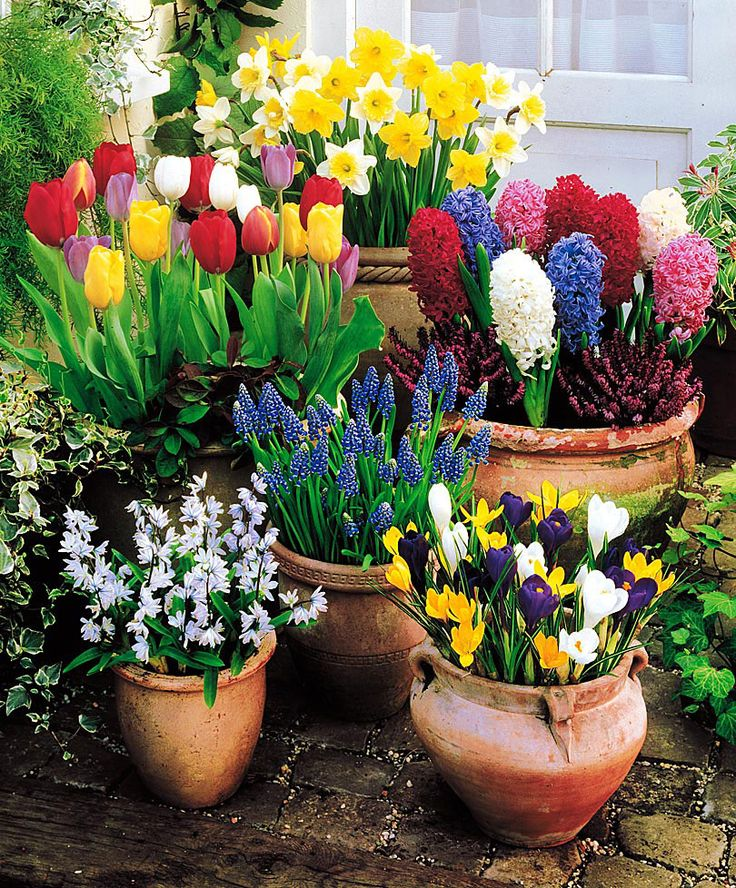 Place bulbs shoulder to shoulder across the surface of the soil, leaving no space between them. Then top off with more potting