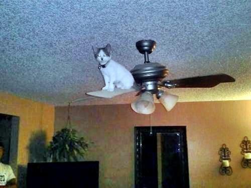 Cat ceiling fan gradschoolfairs cat ceiling fan hbm blog aloadofball Choice Image