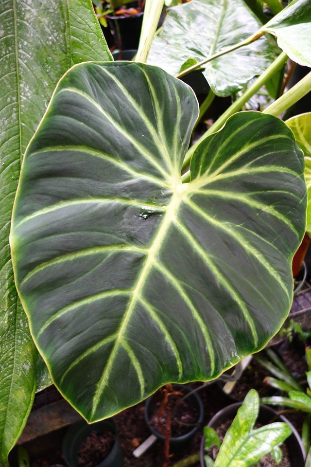 chair care patio marcel breuer philodendron luxurians 'choco' | plants pinterest