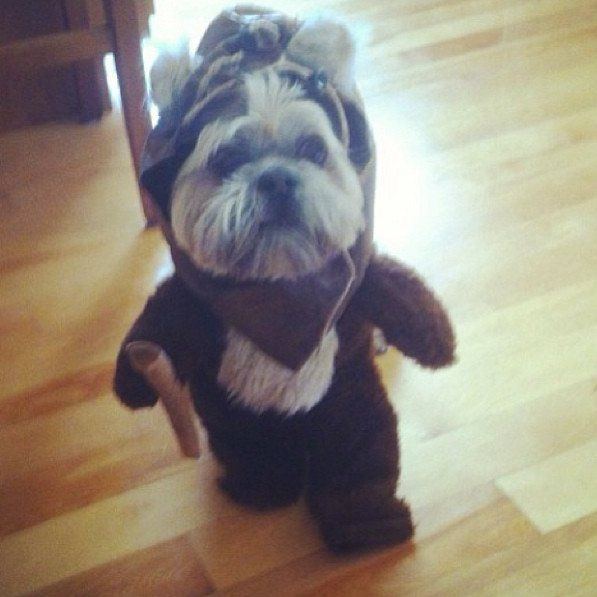 Best 25+ Ewok dog costume ideas on Pinterest