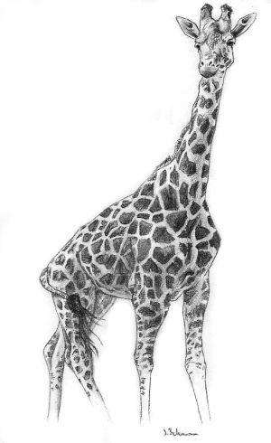 giraffe drawing pencil draw sketch drawings realistic drawn charcoal animal girraffe animals deviantart sketches turtle excellent cartoonist ways giraffes explore