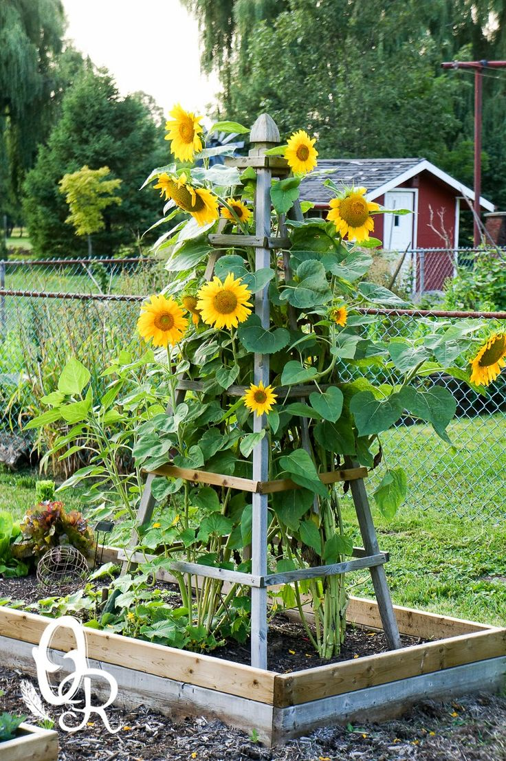 25 Best Ideas About Sunflower Garden On Pinterest Planting
