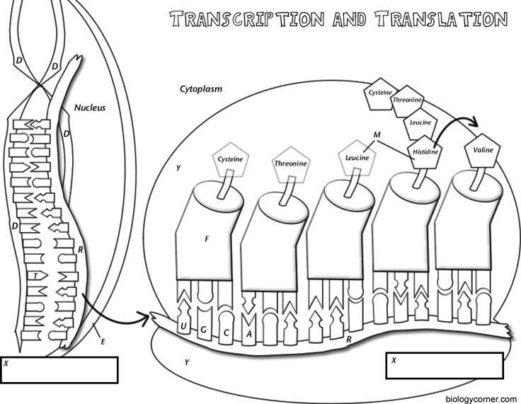 Coloring worksheet that explains transcription and