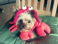 Adorable Dog Costume: Reesie & Rolo as Ariel & Sebastian ...
