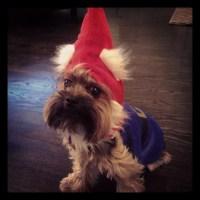Panini dog + gnome costume = Gnomini! | puppy love ...