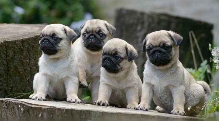 Pug Facebook Cover Photos For Your Timeline Cute Pug