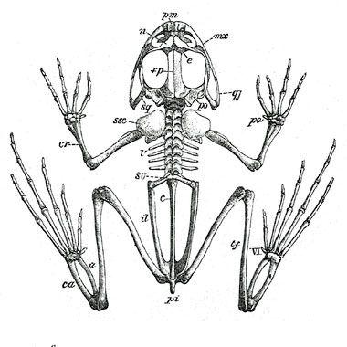 Anatomie and Frösche on Pinterest