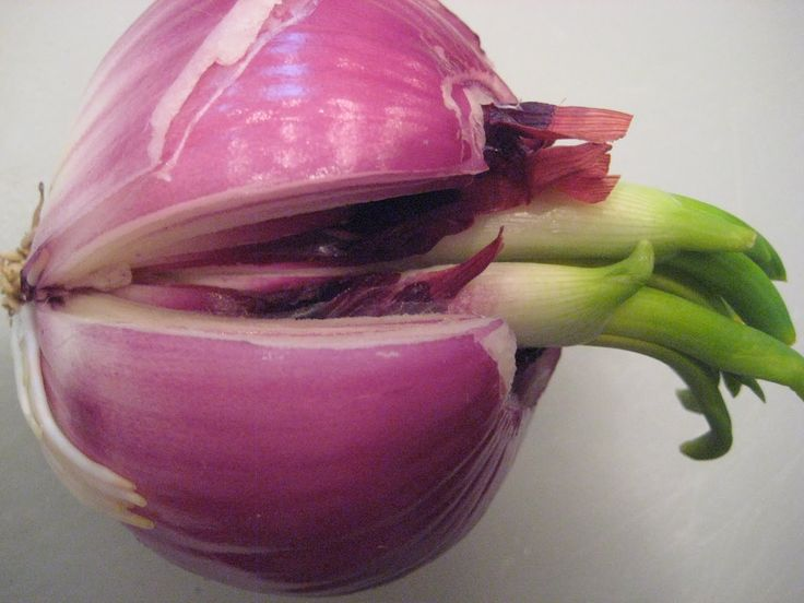 how to grow a sprouted onion indoors