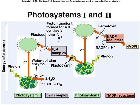 photosynthesis z scheme diagram 3 pole contactor wiring mcgraw-hill online learning center test | - biology pinterest protein, centers ...