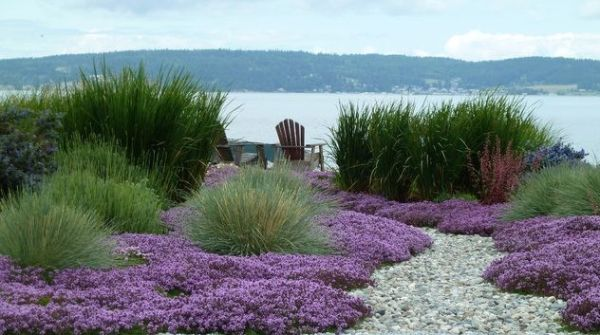 thymus grass and gravel garden