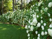 The 25+ best ideas about Shrubs For Privacy on Pinterest ...