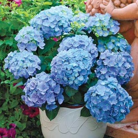 5 Tips for Growing Gorgeous Hydrangeas: