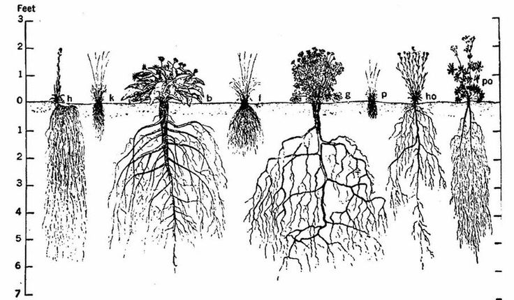 root structures. Fibrous Roots. Tap Roots. Storage Roots