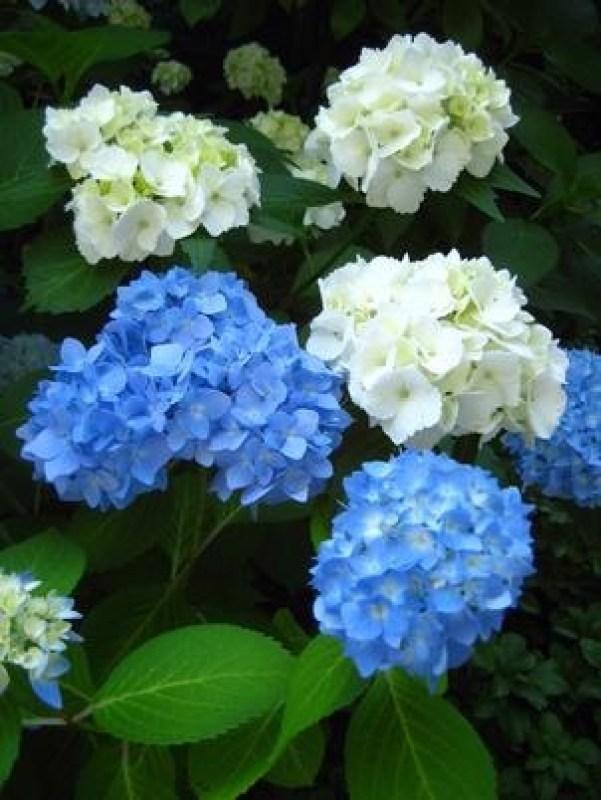 ortensie bianche e blu