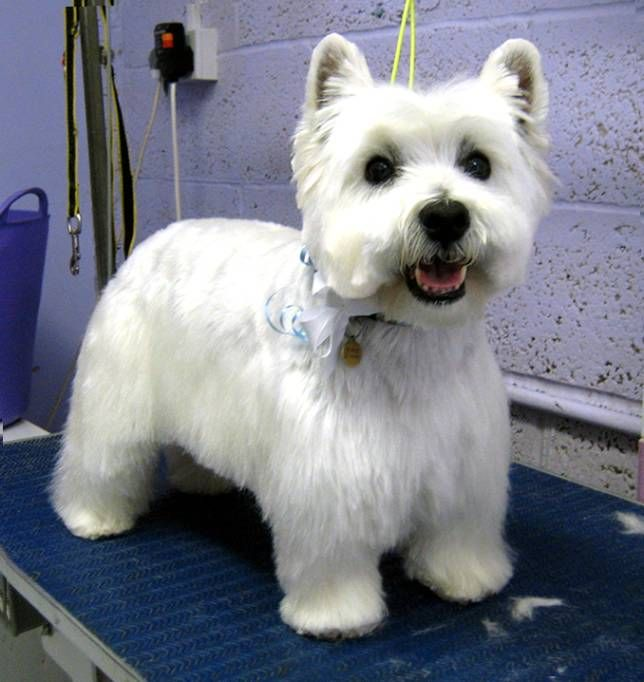 Westie Haircut Pictures Westies Pinterest Haircuts