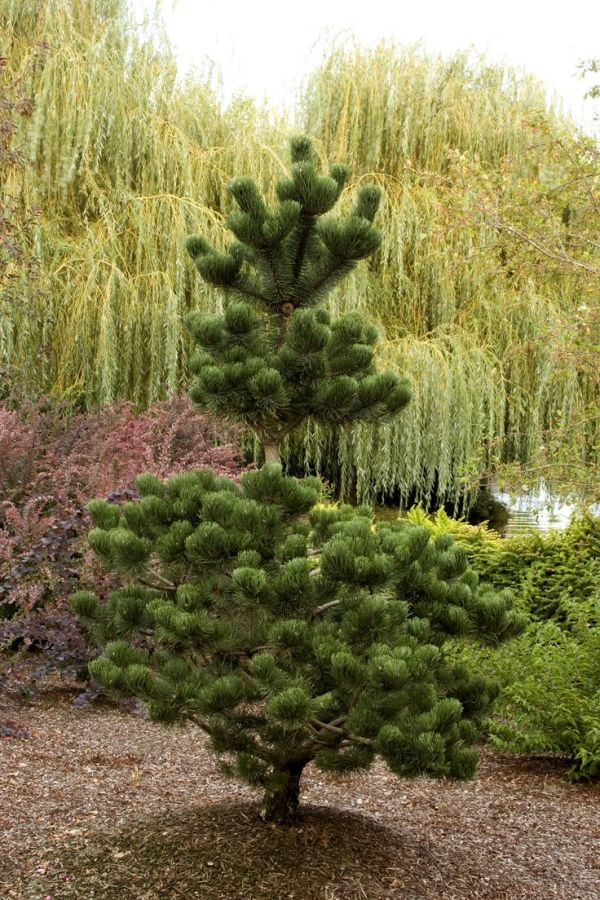 oregon green austrian pine - monrovia
