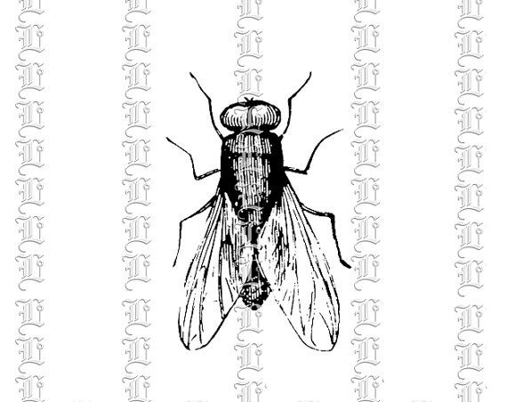 House Insect Fly Musca Domestica Vintage Clip Art
